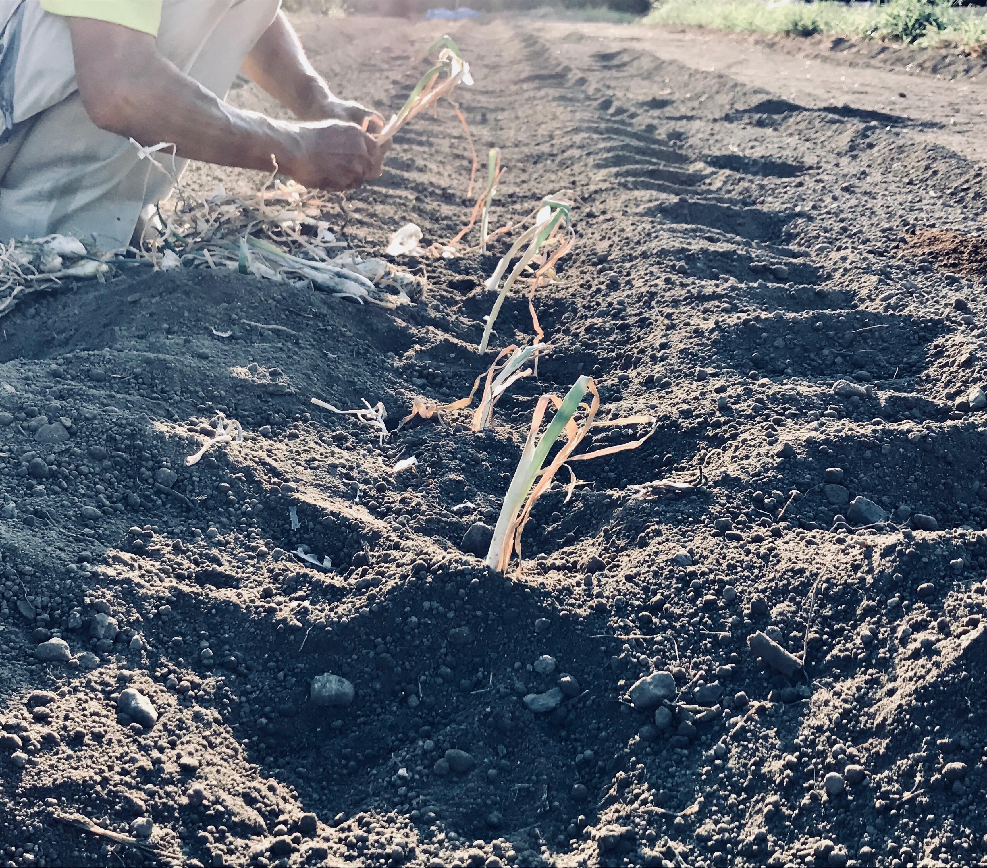 家庭菜園初心者が野菜を育てる